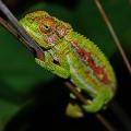 kenilworth_Cape Dwarf Chameleon b