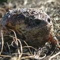 kenilworth_Cape rain frog - R S memani 2014