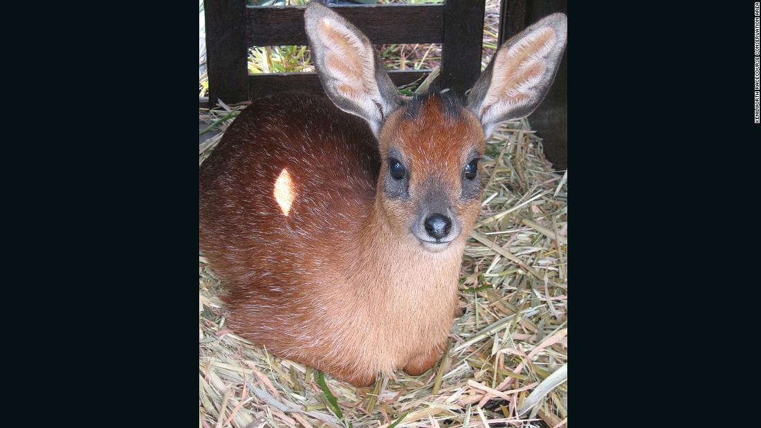 The Cape grysbok is a small antelope endemic to the Western Cape.