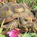 Parrot-beaked tortoise J COOPER