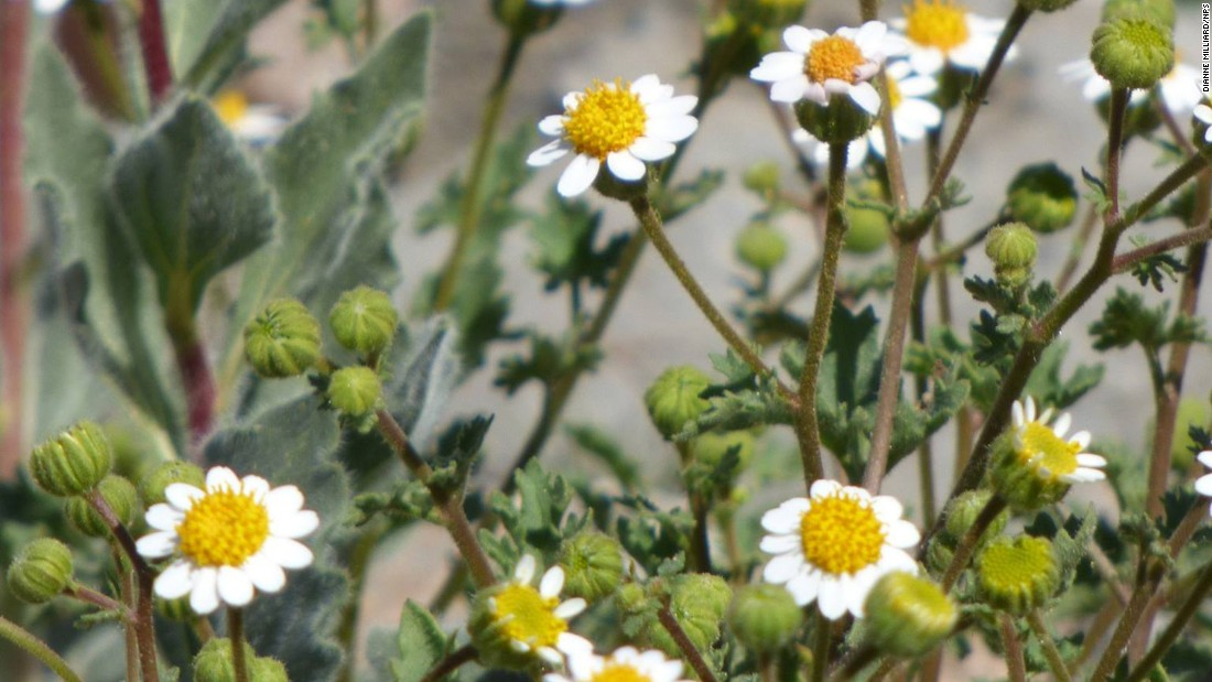 Rock Daisy (Perityle emoryi) is commonly found in Arizona, California, Nevada and Utah deserts. The plant is characterized by its golden disc and white ray florets.