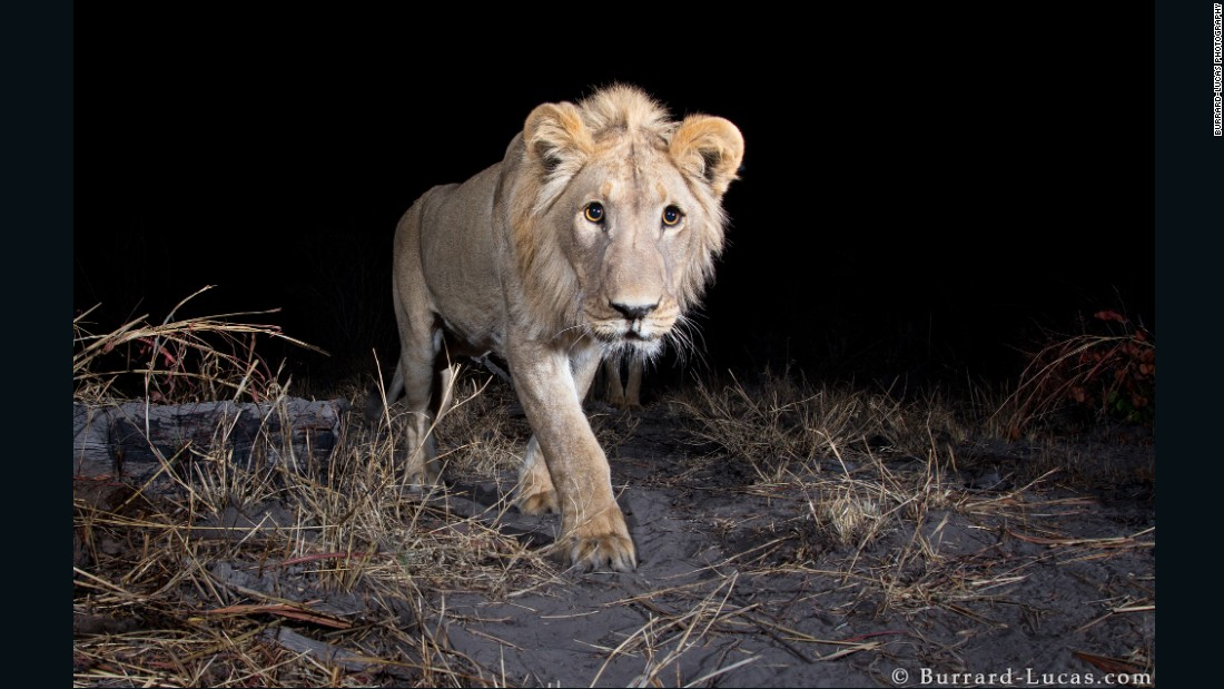 In some regions of  Africa wild animals are accustomed  to tourist gawping at them in wonder. However, in the Zambezi Region of Namibia, the local animals has proven to be more elusive to capture for Will Burrard-Lucas, who was commissioned to photograph the region's wildlife by the WWF.