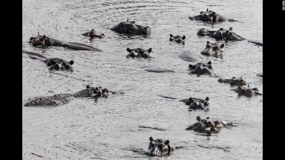 An annual flood-tide pulses through the wetland system -- home to this pod of hippos -- and revitalizes ecosystems at a critical moment during the peak of Botswana's dry season in June and July.