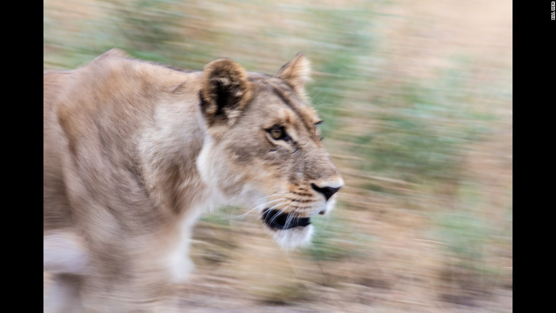 The Okavango Delta sustains robust populations of some of the world's most endangered large mammals including cheetahs, black and white rhinoceros, wild dogs and lions, all adapted to living in the wetland.