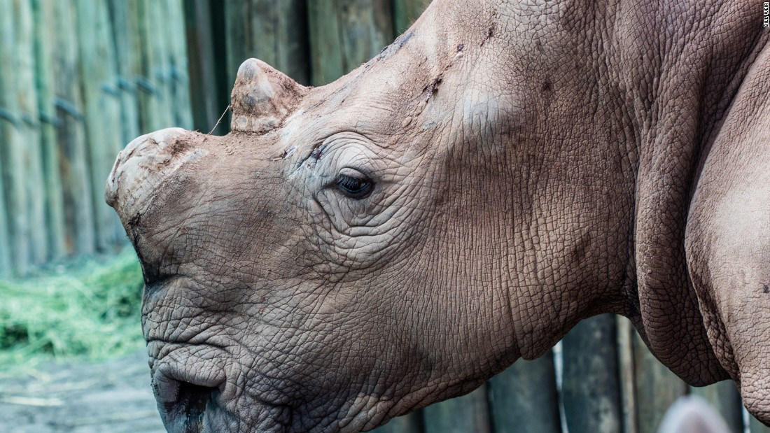 The black rhinoceros is at the center of a conservation debate in southern Africa. On the black market, pound for pound, rhino horn is worth more than gold or cocaine. Those who purchase it believe it is an effective medicine or a status symbol.