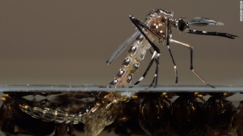 The mosquito that carries Zika, Aedes aegypti, hatches from water