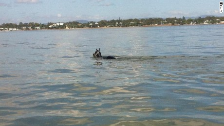 Rebel Rover went for an impromptu swim at Sandgate Beach in Brisbane.