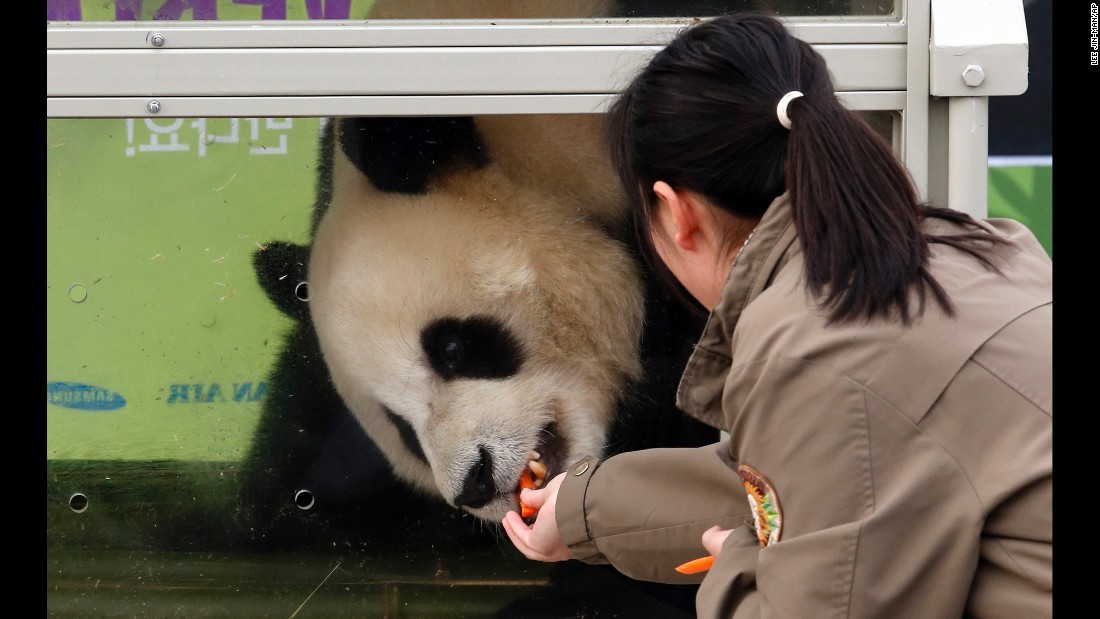 A handler feeds a panda named Le Bao during a welcoming ceremony at the international airport in Incheon, South Korea, on Thursday, March 3. Le Bao and another panda arrived from China's Sichuan province.
