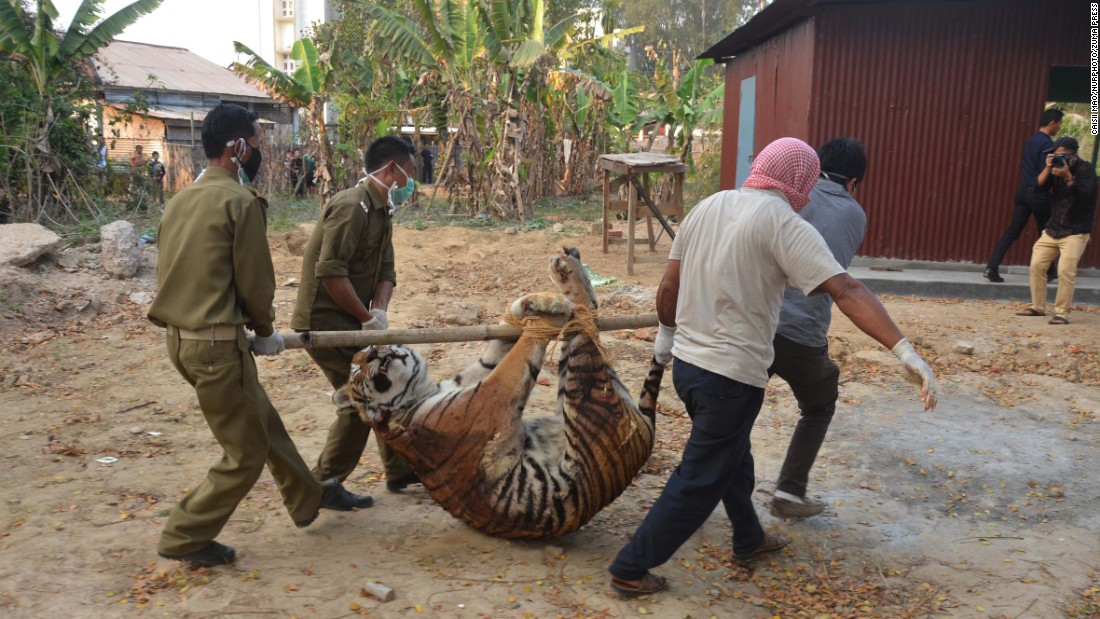 Officials carry away a dead tigress after it was killed by villagers in Dimapur, India, on Tuesday, March 1. The animal had been troubling the village for more than a week, raiding livestock and attacking a man.