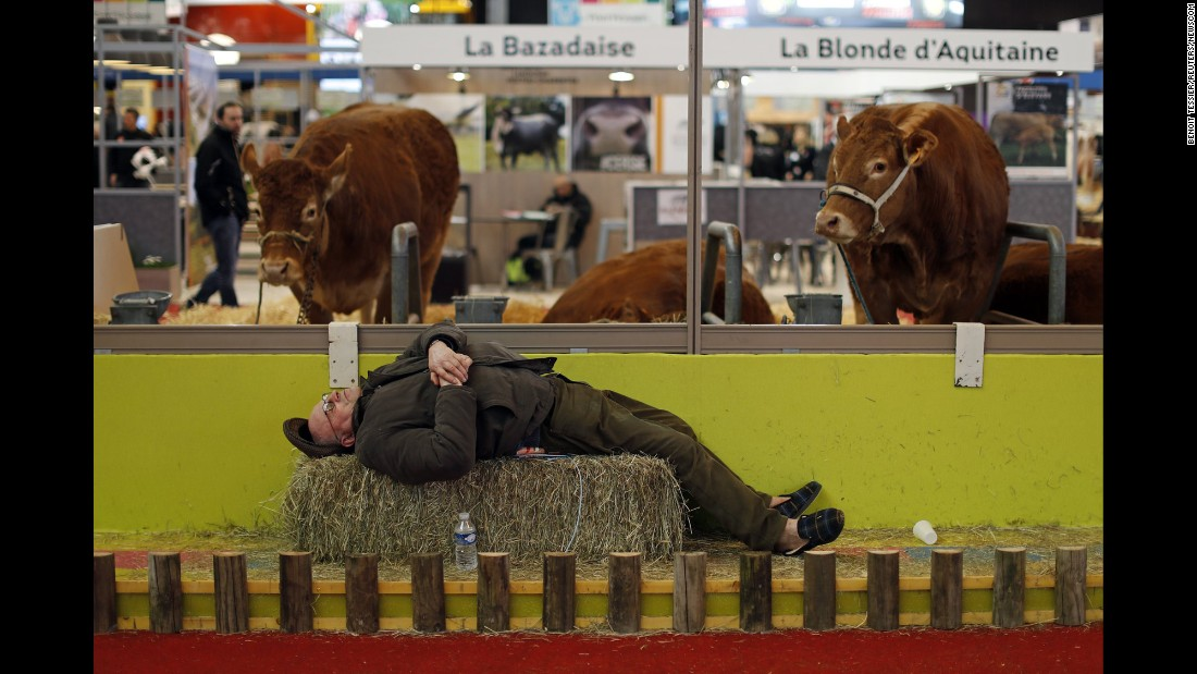 A farmer sleeps near cows at the International Agricultural Show in Paris on Monday, February 29.