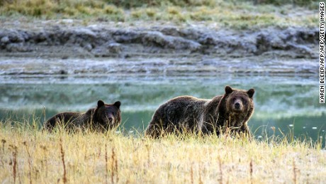 A grizzly bear like the one seen here in Yellowstone National Park attacked Todd Orr twice.