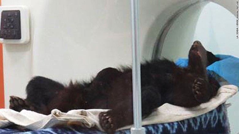 Bolivian bear left for dead gets new home