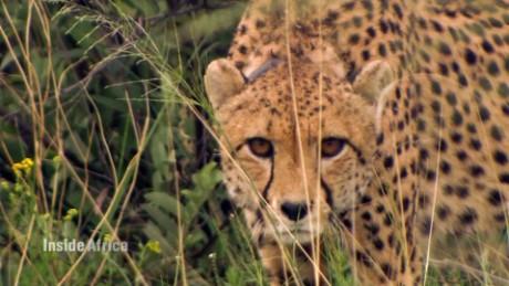 namibia cheetahs inside africa a spc_00003207