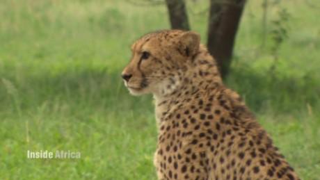 namibia cheetahs inside africa c spc_00042026.jpg