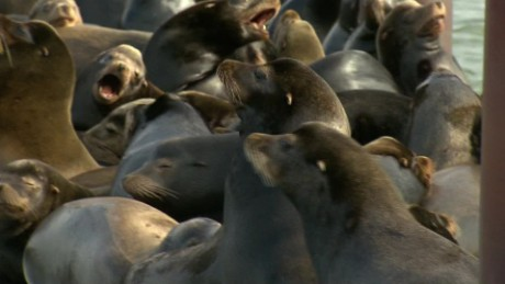 sea lions take over rainer oregon pkg_00002228.jpg
