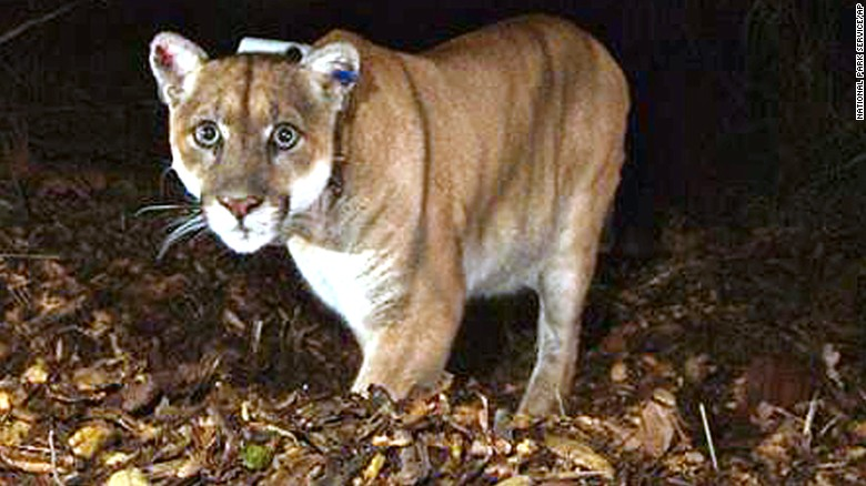 Wild mountain lion suspected in koala death at L.A. Zoo