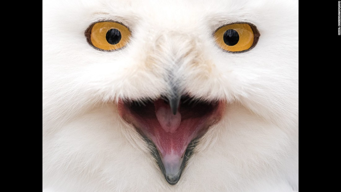 A snowy owl looks into a camera at an animal park in Neumunster, Germany, on Friday, March 4.