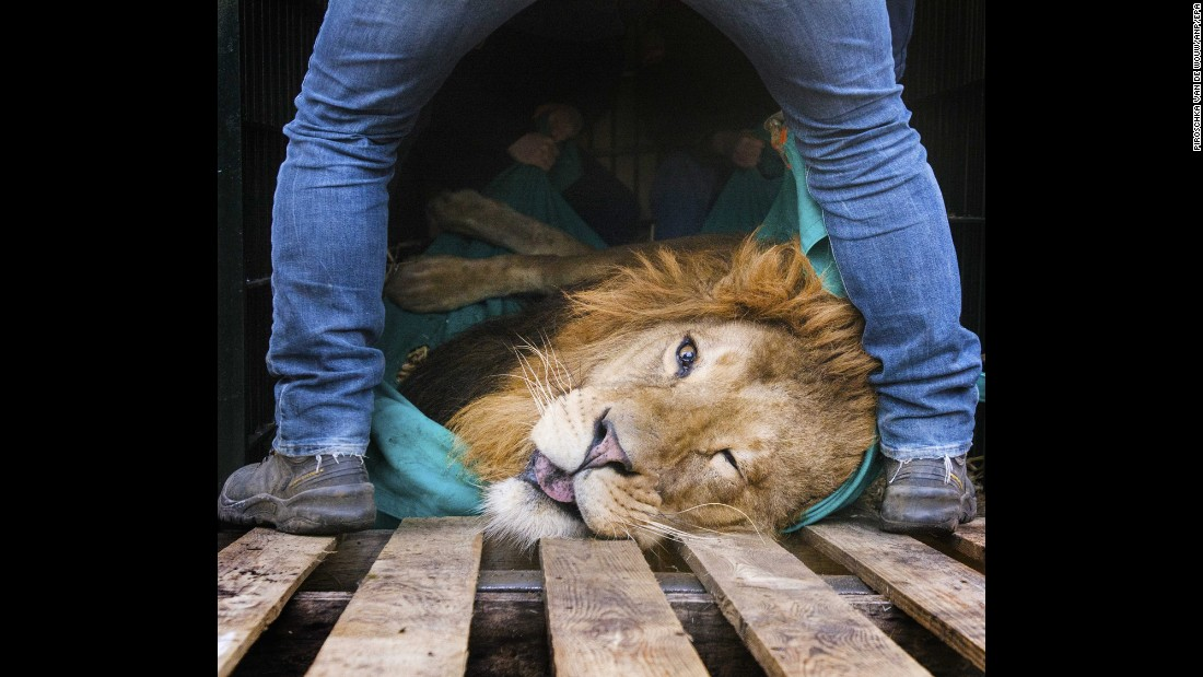Zookeepers in Arhem, Netherlands, prepare a sedated lion for transportation on Thursday, March 10. The 5-year-old lion, Zeus, was being moved to a zoo in Hungary.