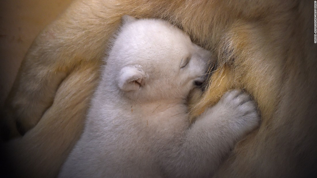 A baby polar bear is fed by her mother at a zoo in Bremerhaven, Germany, on Wednesday, March 9.