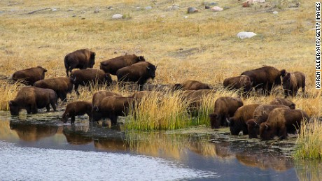 A small herd of buffalo drink from a pond in Yellowstone National Park, Wyoming.