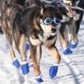 05 Iditarod race 2016