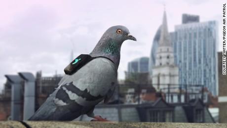Pigeon Air Patrol.