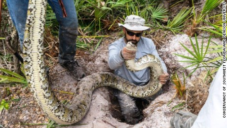 Ian Bartoszek, Conservancy of Southwest Florida biologist and a team of researchers have been tracking Burmese pythons captured more than one ton of pythons over the last three months in Southwest Florida.
