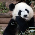IYW_Panda_01