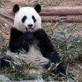 IYW_Panda_05