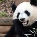 IYW_Panda_06