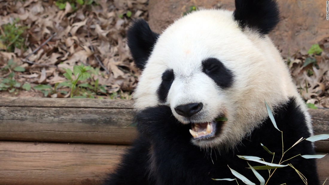 At Zoo Atlanta, the pandas eat five times a day. They also receive delicious treats of fruit, biscuits and sugar cane.
