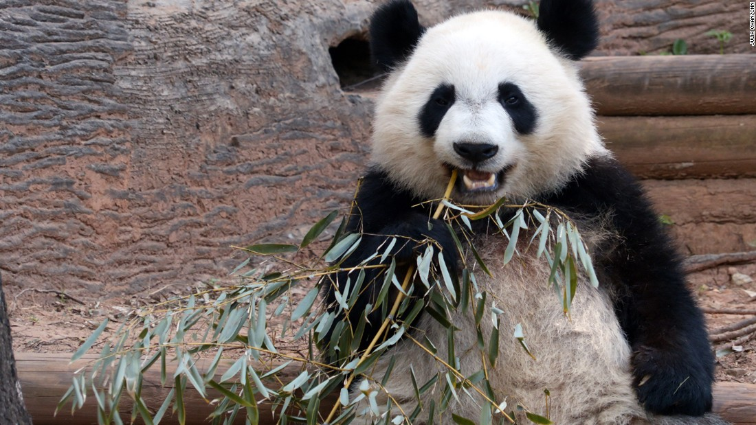 According to Zoo Atlanta, giant pandas live to be about 20 years in the wild but up to 30 years in zoos.