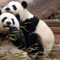 IYW_Panda_09