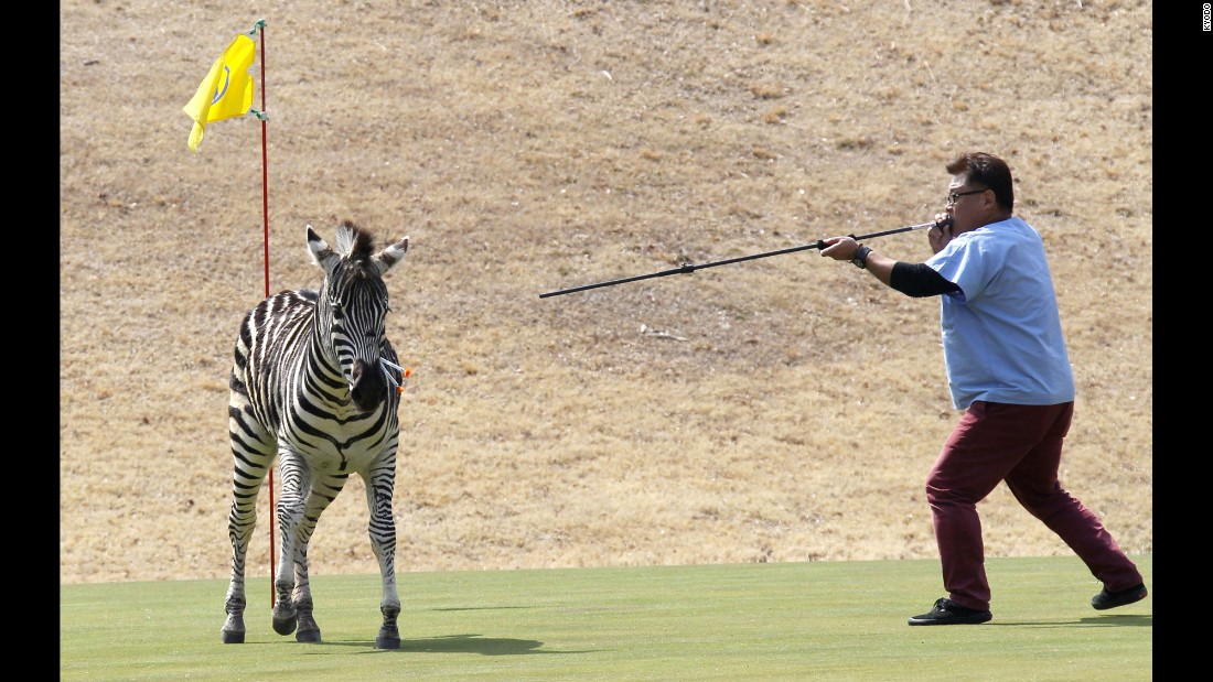 "A runaway zebra is shot with tranquilizer darts at a golf course in Toki, Japan, on Wednesday, March 23. The zebra, <a href=""http://www.cnn.com/2016/03/23/asia/japan-fugitive-zebra-dies/index.html"" target=""_blank"">which became a social-media sensation</a> after its bid for freedom was broadcast on national TV, ran into a pond and died."