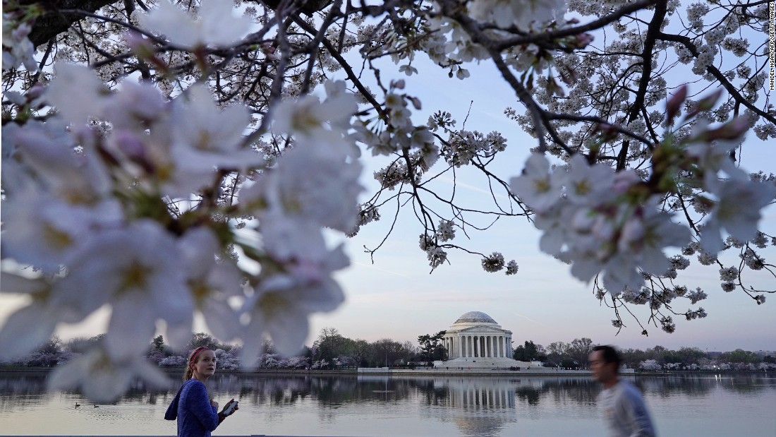 Peak bloom is reached when 70% of the blossoms are open on the Yoshino cherry trees surrounding the Tidal Basin.
