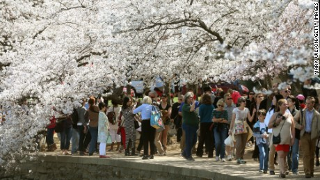 People walk along the Tidal Basin admiring the blooming Cherry Blossoms on Thursday, March 24, 2016 in Washington, DC. The National Park Service has predicted that most of the Cherry Blossom trees that surround the Tidal Basin will reach peak bloom soon.