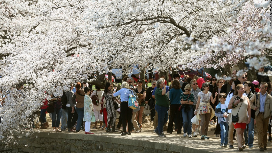 The National Cherry Blossom Festival runs through April 17 in Washington. The trees reached peak bloom this week.