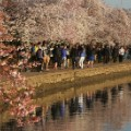 cherry blossoms dc 2016