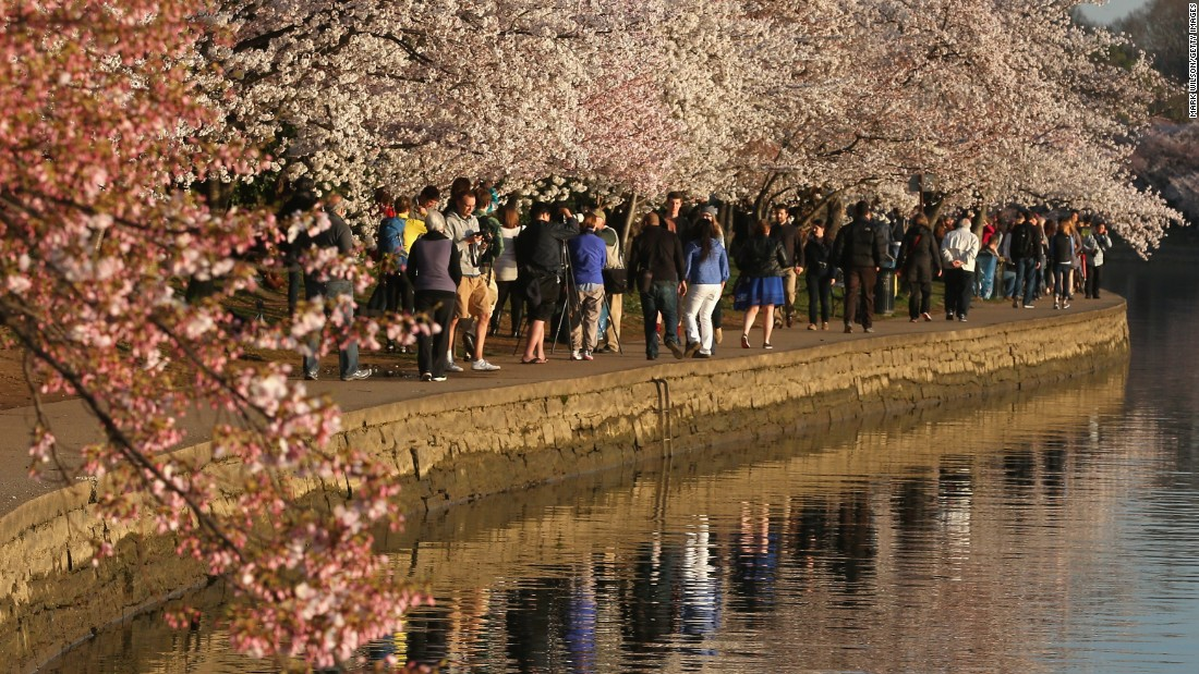 The National Park Service predicts that the trees could reach their peak bloom starting March 14, which would be the earliest peak on record.