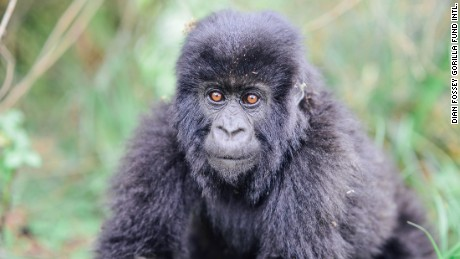 Saving Rwanda's mountain gorillas from extinction