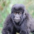 gorilla fossey fund 04