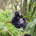gorilla fossey fund 03