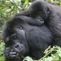 gorilla fossey fund 12