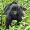 gorilla fossey fund 09