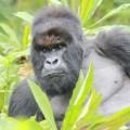 gorilla fossey fund 11