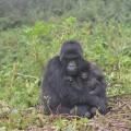 gorilla fossey fund 06