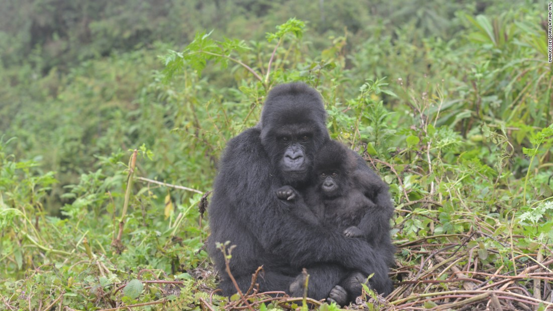 A mother mountain gorilla holds an infant in Volcanoes National Park, Rwanda.