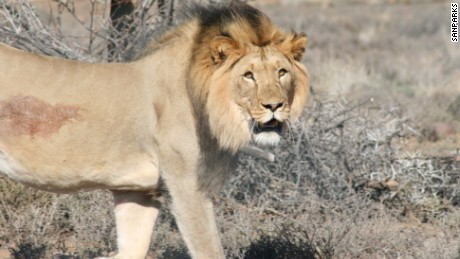 Lion escapes from South African park again