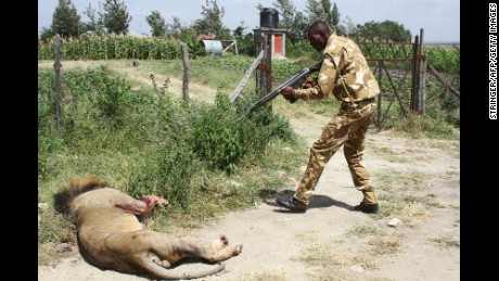 A ranger of Kenya Wildflife Serive aims his gun at a lion on March 30.