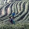 2000 Tea Plantation in Ang Khang Royal project.CR2